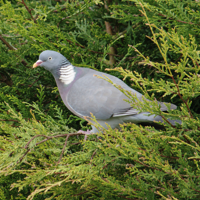 """Wood Pigeon In Leylandii"" stock image"