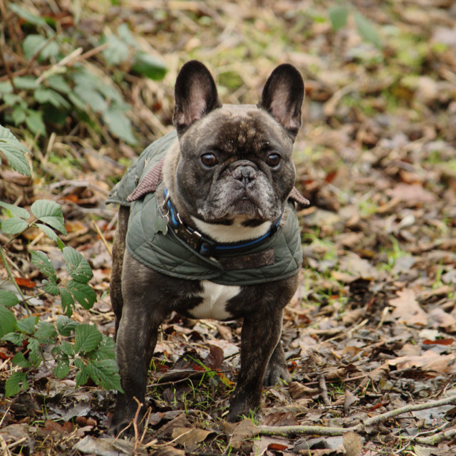 """French Bulldog in Coat"" stock image"