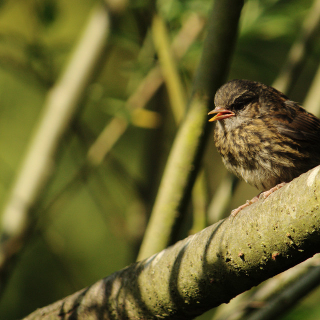 """Young Dunnock Perched"" stock image"