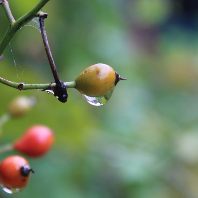 """raindrops on berries"" stock image"