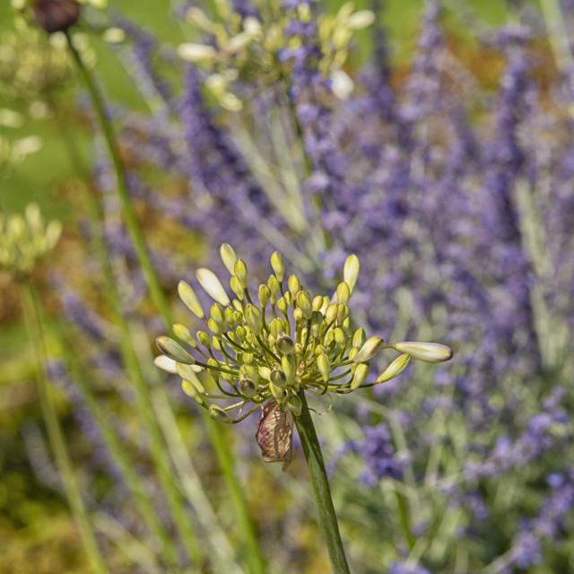 """White heaven agapanthus in garden"" stock image"