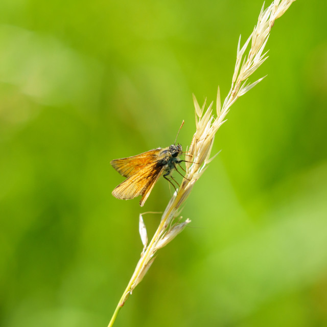 """Lulworth Skipper (Thymelicus acteon), taken in the UK"" stock image"