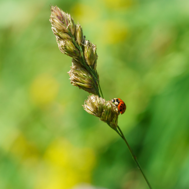 """Sixteen-Spot Ladybird (Halyzia sedecimpunctata) in the UK"" stock image"