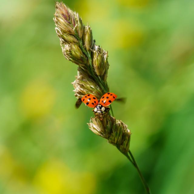 """Sixteen-Spot Ladybird (Halyzia sedecimpunctata) in the UK"" stock image"