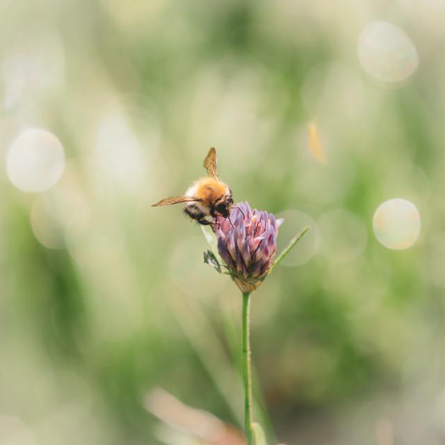 """""""Tree Bumblebee (Bombus hypnorum)"""" stock image"""