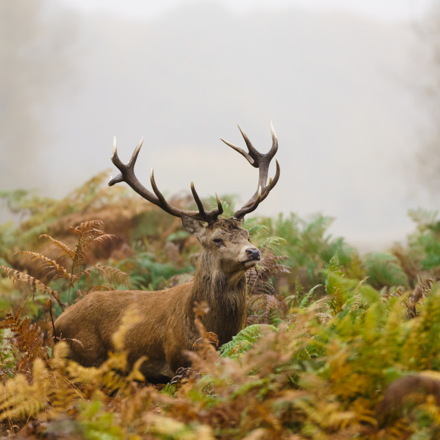 """Red deer (Cervus elaphus)"" stock image"