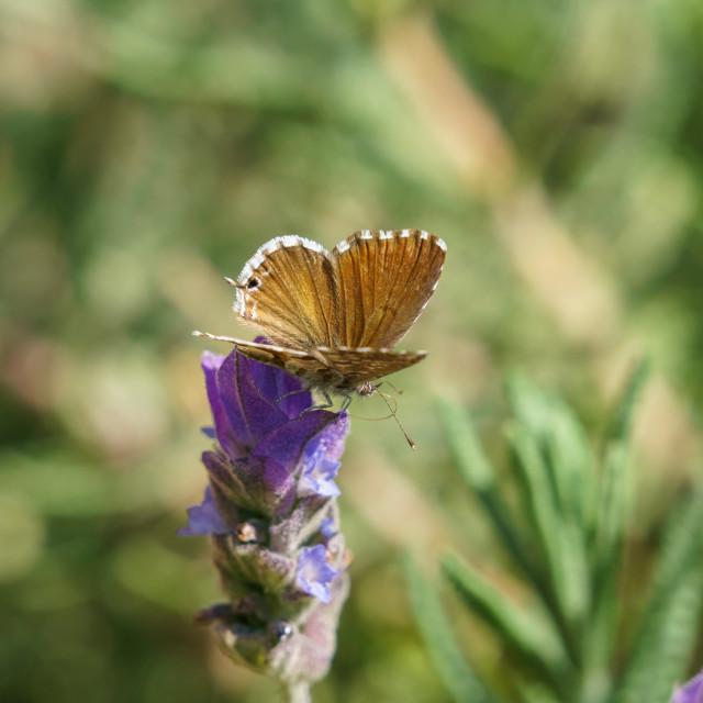 """Geranium Bronze Butterfly(Cacyreus marshalli), South Africa"" stock image"