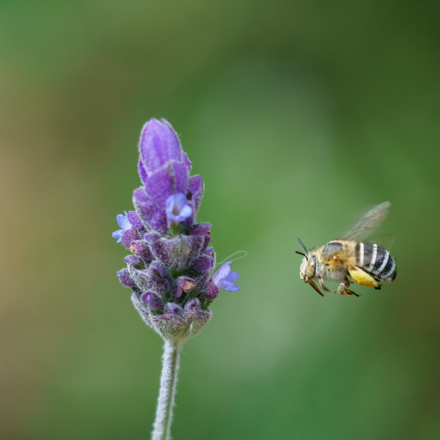 """""""Amegilla bee in South Africa"""" stock image"""