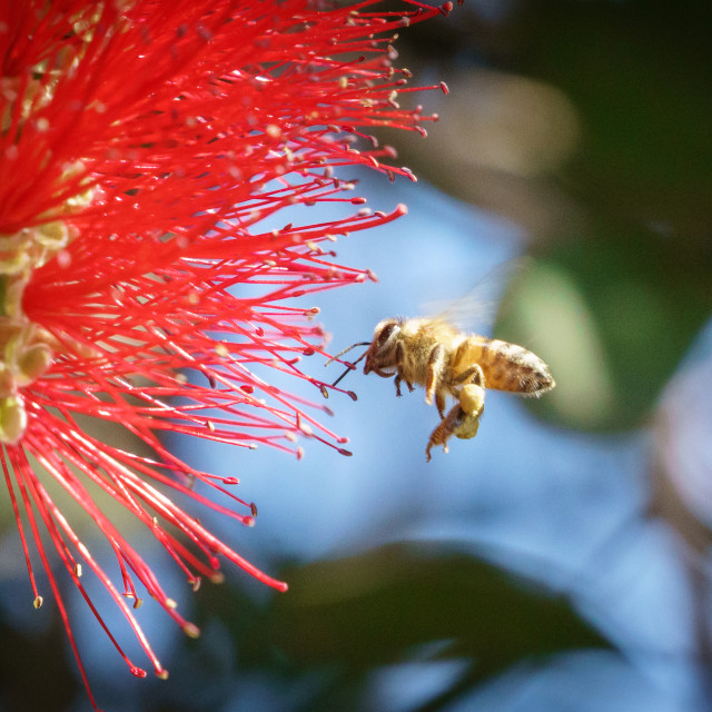 """african honeybee (Apis mellifera scutellata) on bottlebrush"" stock image"