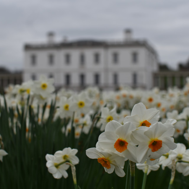 """Daffodils outside"" stock image"