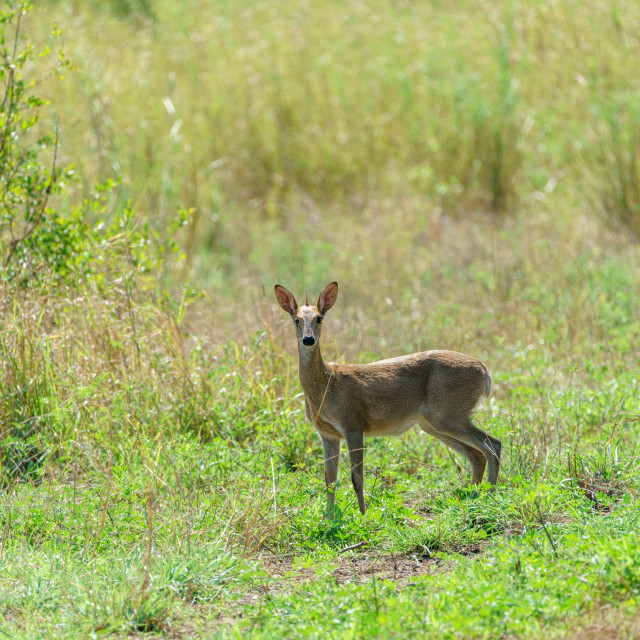 """Steenbok (Raphicerus campestris) taken in South Africa"" stock image"