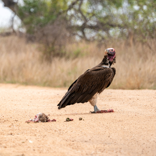 """Lappet-Faced Vulture (Torgos tracheliotus)"" stock image"