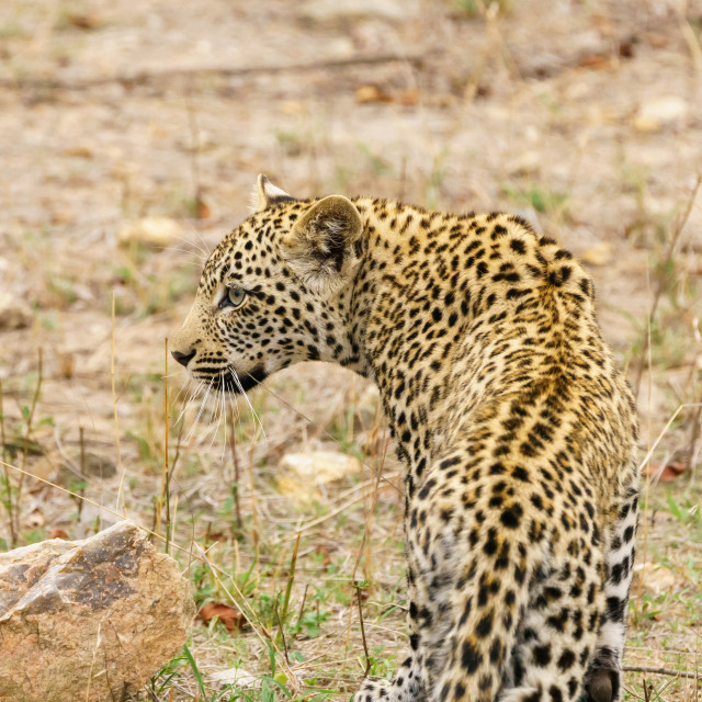 """Leopard (Panthera pardus) taken in Kruger Park, South Africa"" stock image"