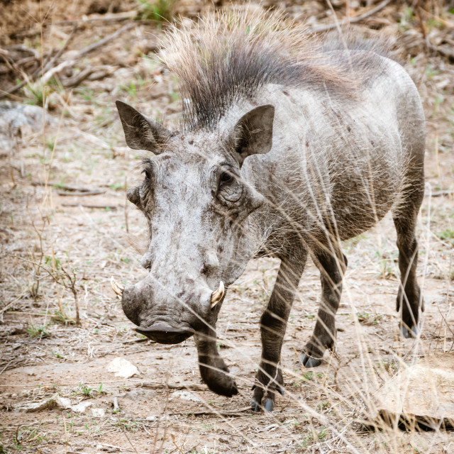 """Warthog (Phacochoerus africanus), taken in South Africa"" stock image"