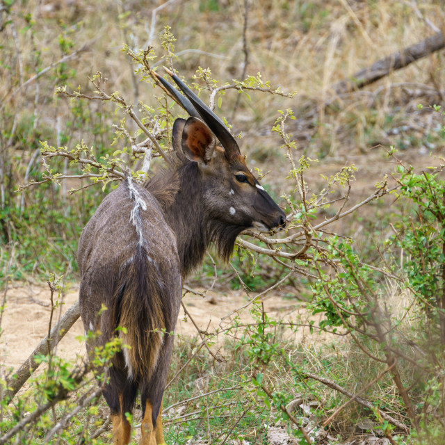 """Nyala (Tragelaphus angasii), taken in South Africa"" stock image"