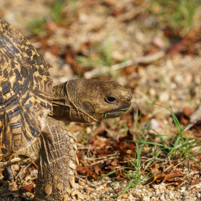 """Leopard Tortoise (Stigmochelys pardalis)"" stock image"