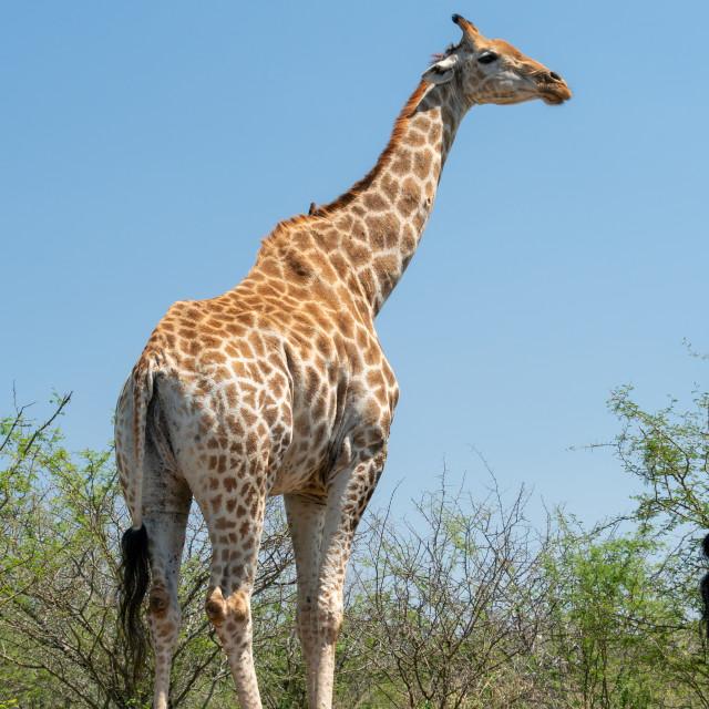 """""""Giraffe (Giraffa camelopardalis)"""" stock image"""