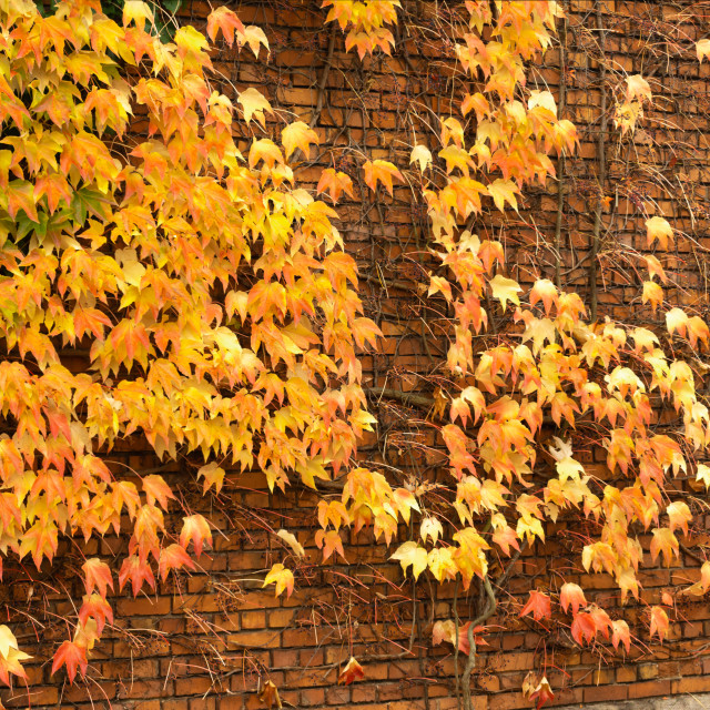 """""""A wall of Autumn"""" stock image"""