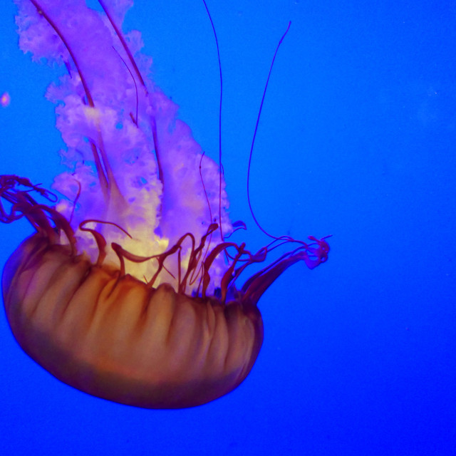 """The Pacific Sea Nettle Jellyfish"" stock image"
