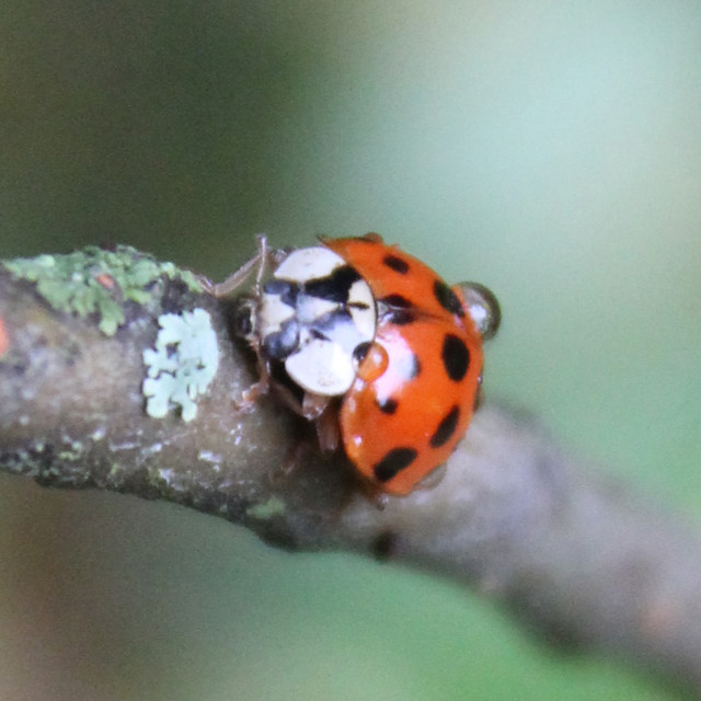 """ladybug close up"" stock image"