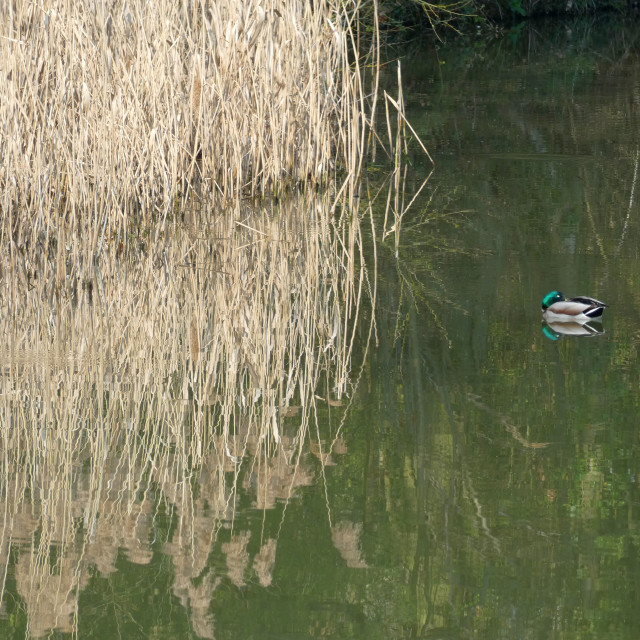 """Duck and reeds reflection on the Thames"" stock image"