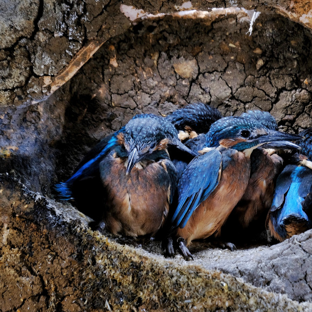 """""""Young kingfishers in nest chamber"""" stock image"""