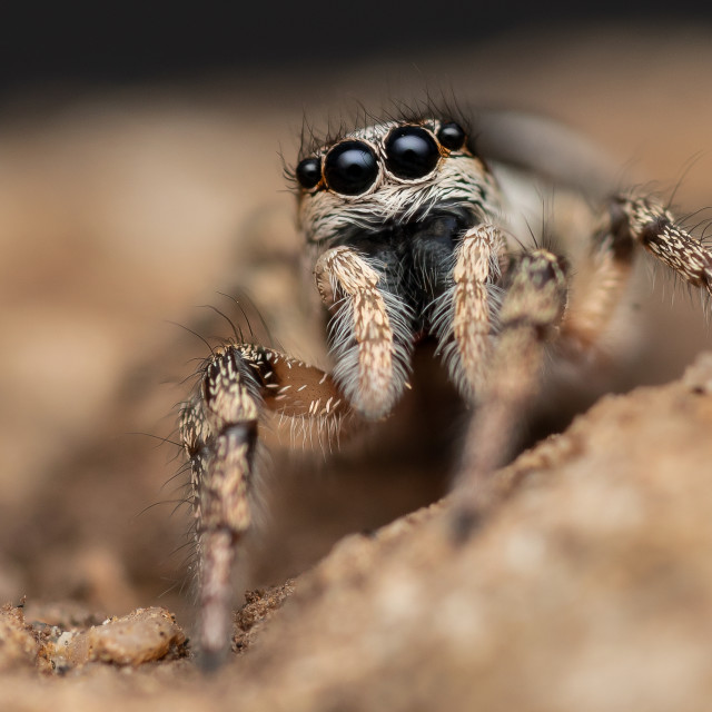 """Zebra Jumping Spider"" stock image"