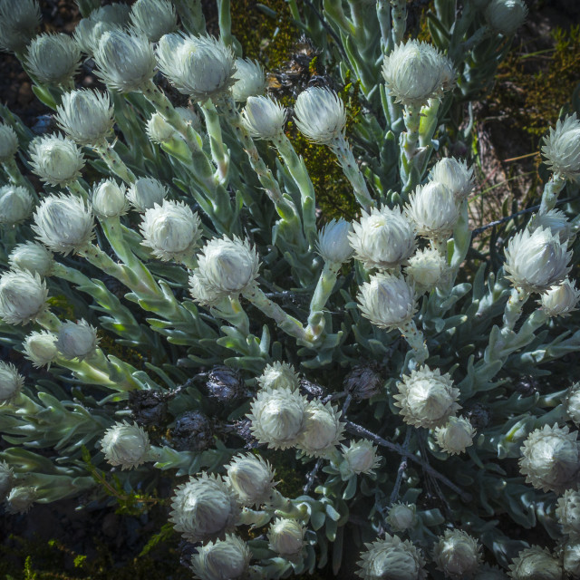 """""""Paper flowers (Sewejaartjies) are prolific during spring and early summer on Table Mountain, South Africa."""" stock image"""