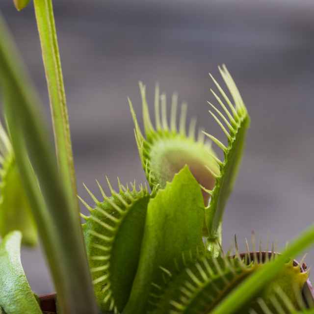 """""""The Venus flytrap is a carnivorous plant native to subtropical wetlands in parts of North America. It catches prey, mainly small insects, with a trapping device formed by the edge of each of the plant's leaves, this is triggered by tiny trigger hairs on t"""" stock image"""