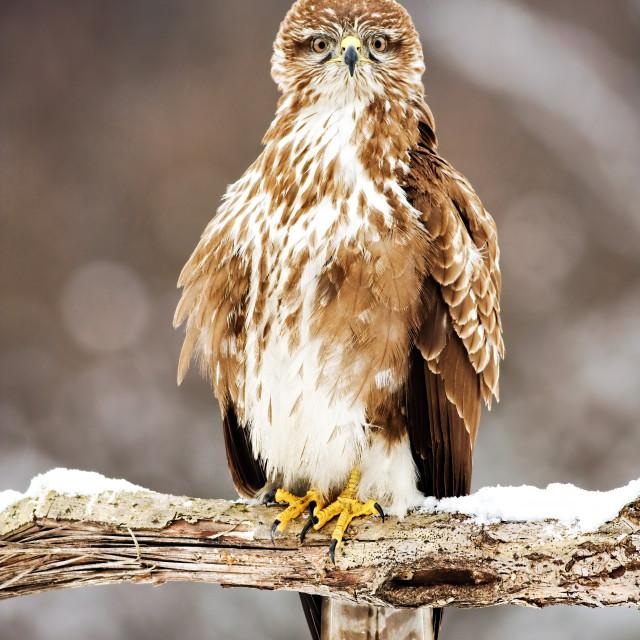 """""""Perched wild common buzzard sitting on a branch covered with snow in winter"""" stock image"""