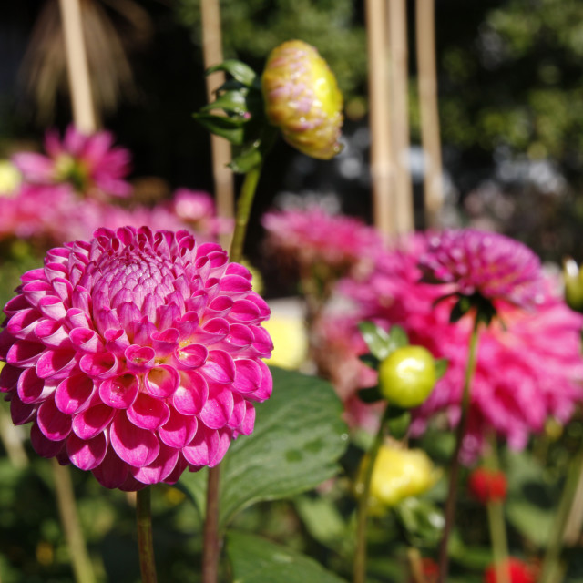 """Pink pompom dahlia flowers"" stock image"