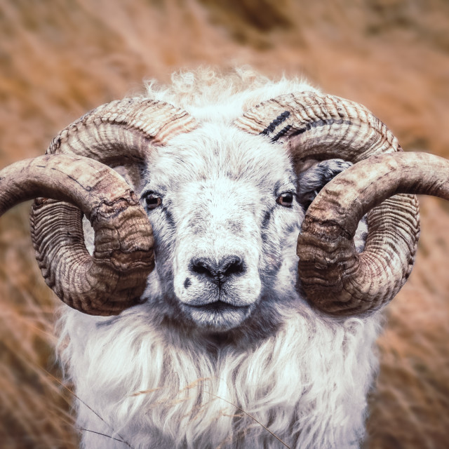 """Icelandic sheep"" stock image"