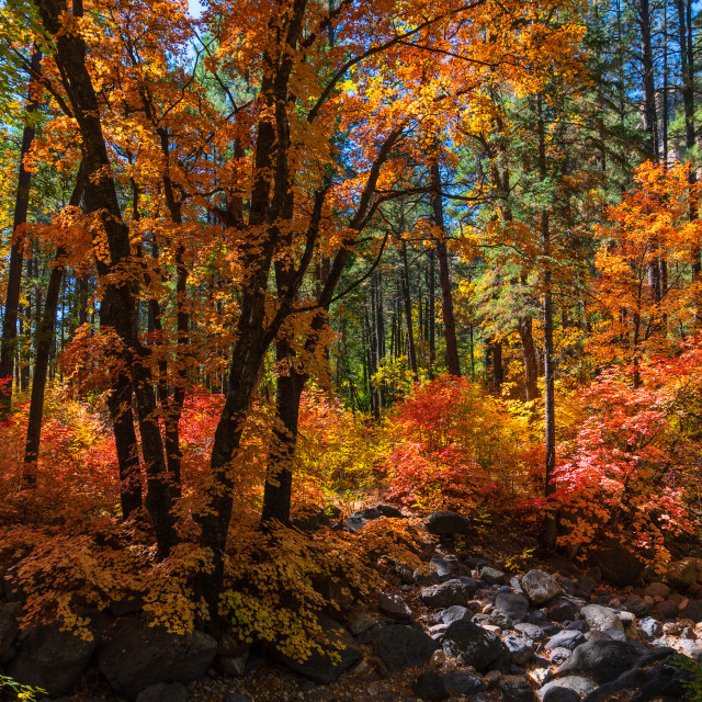 """Fall colors in the west fork of Oak Creek Canyon, Arizona."" stock image"