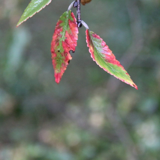 """""""red and green elm leaves"""" stock image"""