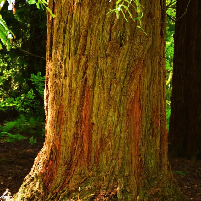 """Red Cedar"" stock image"