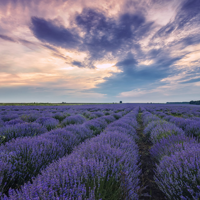 """""""Blooming scented lavender"""" stock image"""