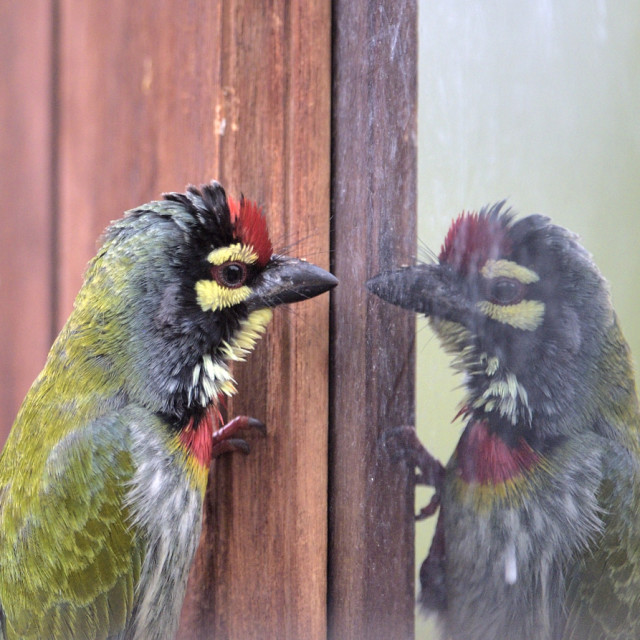 """""""Coppersmith Barbet in conversation with itself"""" stock image"""