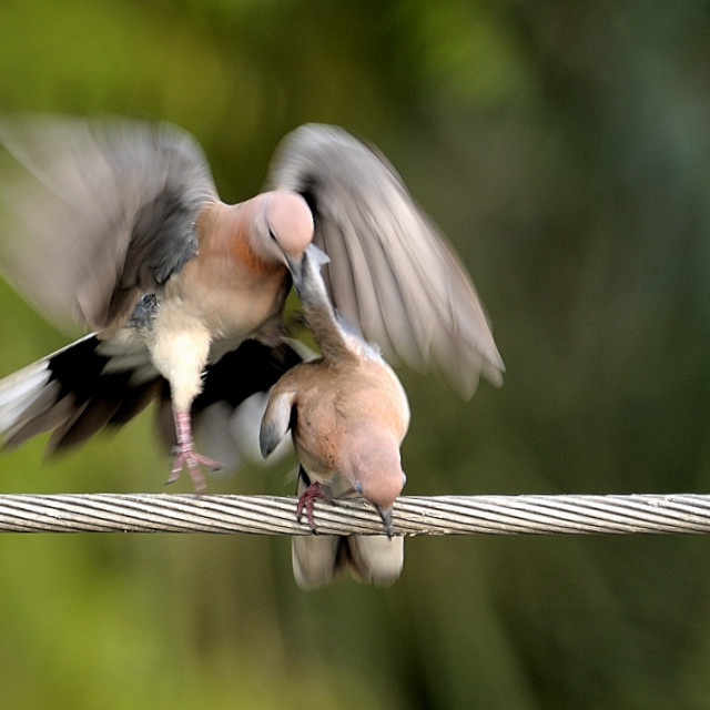 """""""Doves, romancing"""" stock image"""