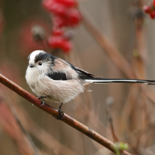 """""""A Long-tailed tit with berries background"""" stock image"""