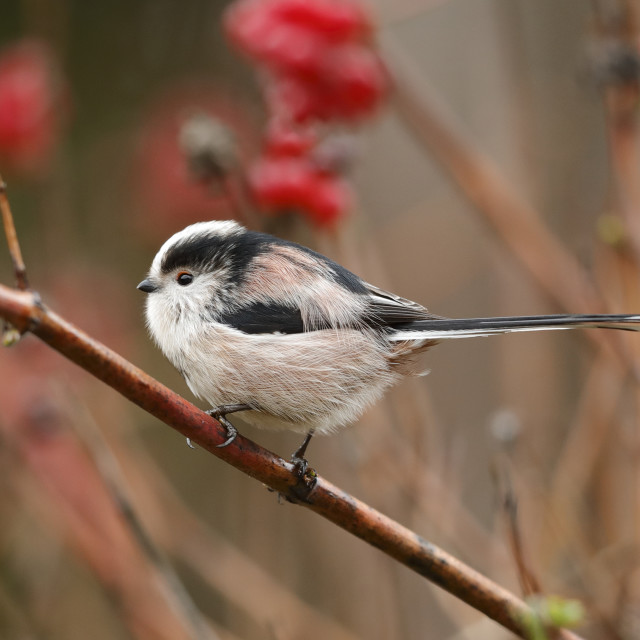 """A Long-tailed tit with berries background"" stock image"
