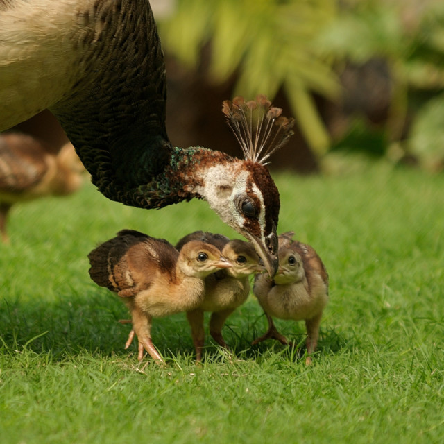 """""""Mother Peahen and chicks"""" stock image"""