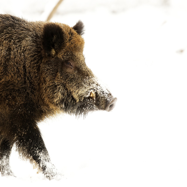 """Wild boar in winter, a portrait"" stock image"