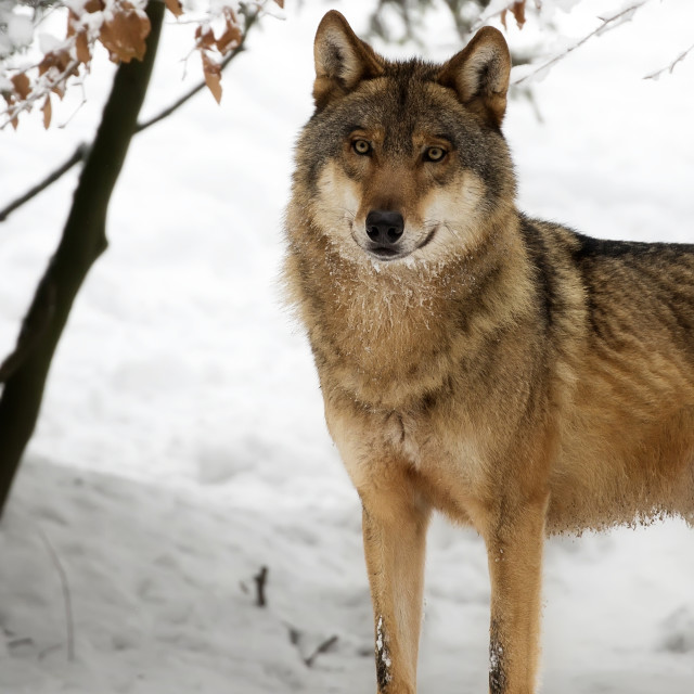 """Wolf in winter a portrait"" stock image"
