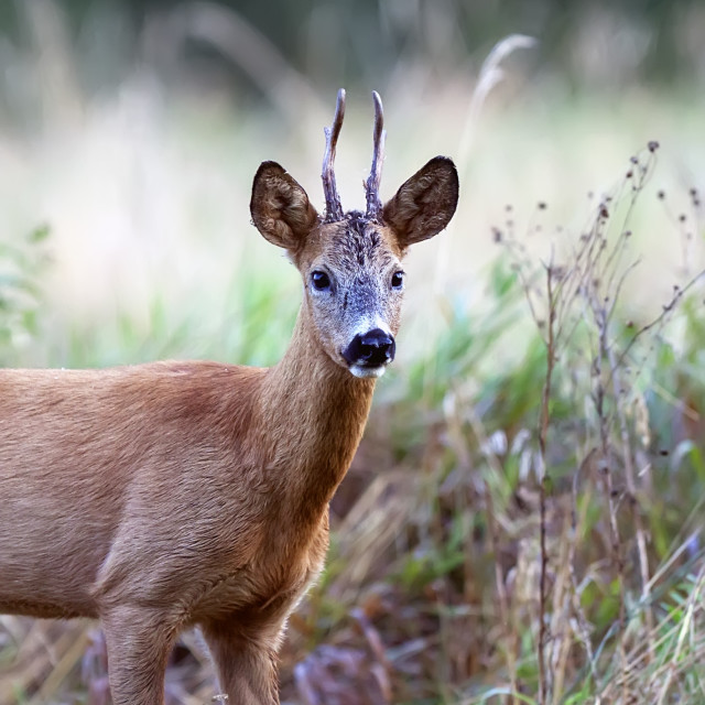 """Buck deer in a clearing, a portrait"" stock image"