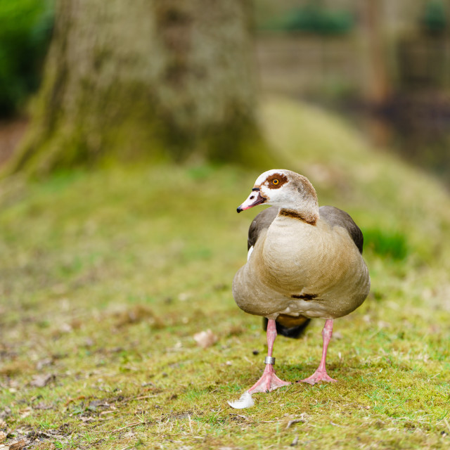 """Egyptian goose (Alopochen aegyptiacus), taken in the UK"" stock image"