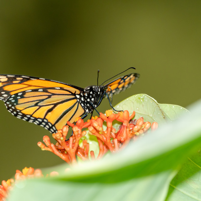 """Monarch Butterfly (Danaus plexippus)"" stock image"