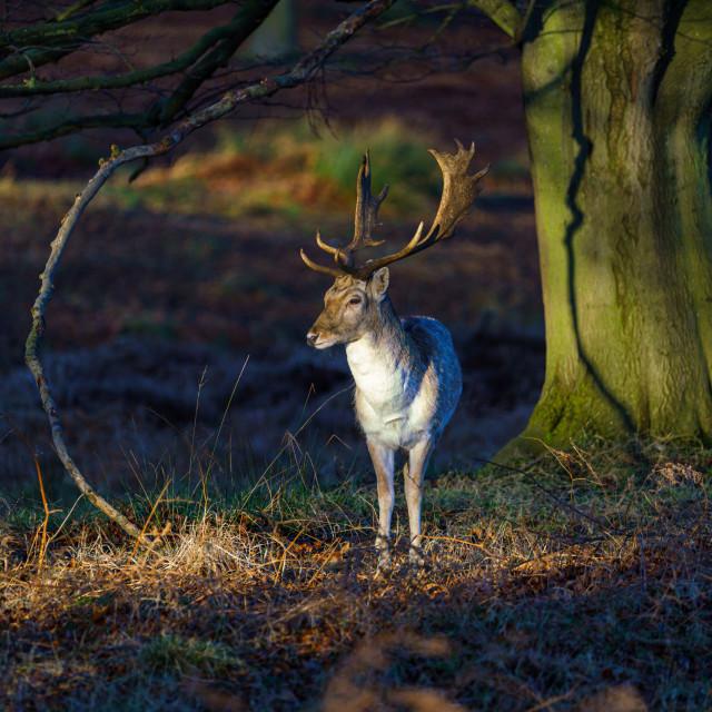 """Fallow Deer (Dama dama)"" stock image"