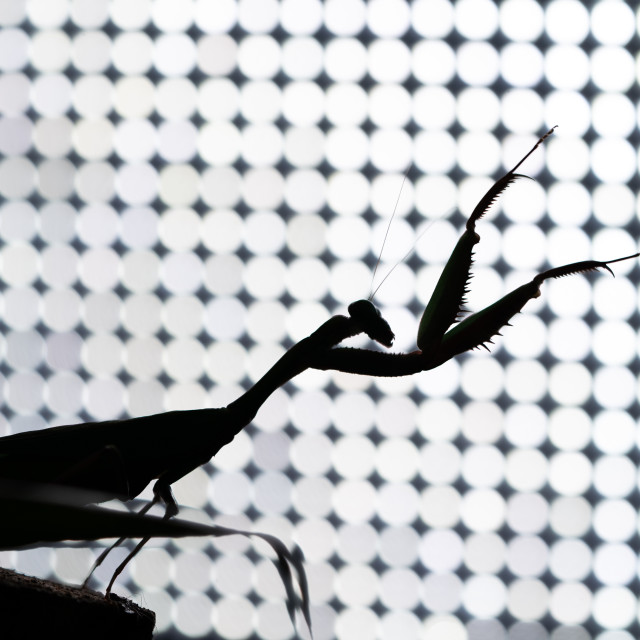 """Praying mantis"" stock image"