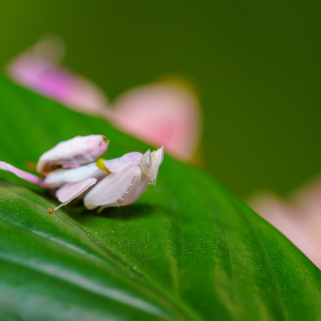"""Pink Orchid Mantis (Hymenopus coronatus) on a leaf"" stock image"