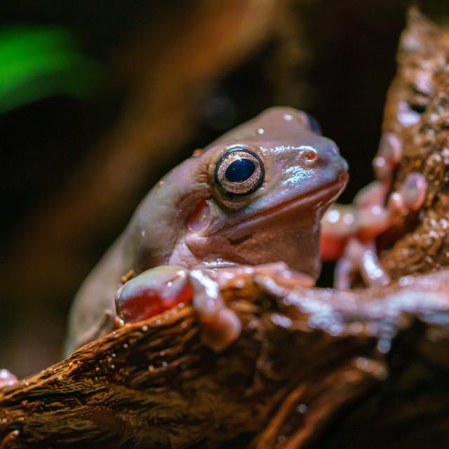 """White's Tree Frog (Litoria caerulea) (captive)"" stock image"